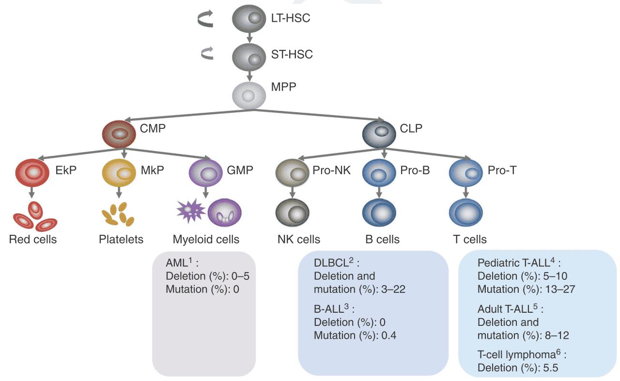 北京大学吴虹研究组综述PTEN调控造血系统和白血病发生的研究进展