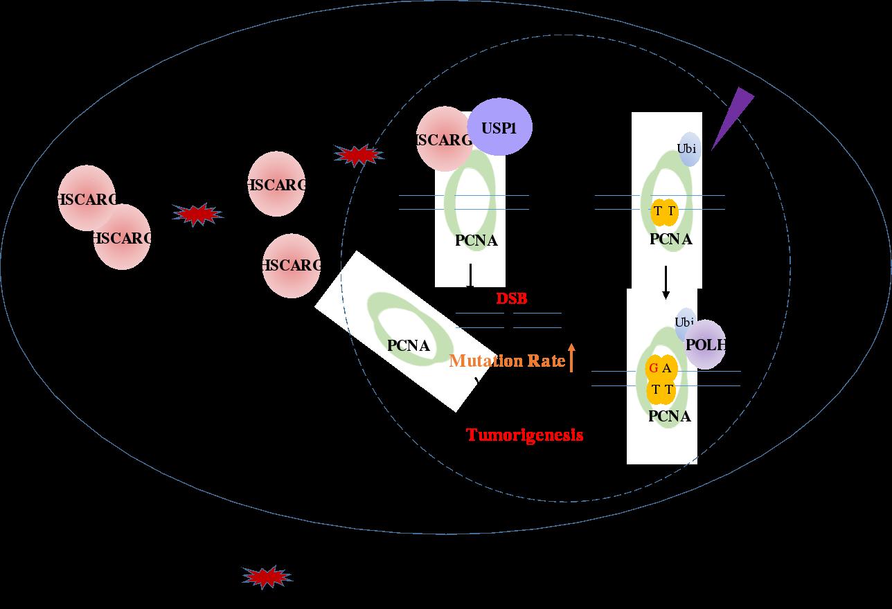 北京大学生命科学学院郑晓峰课题组在PNAS发文 揭示DNA损伤修复调控的新机制