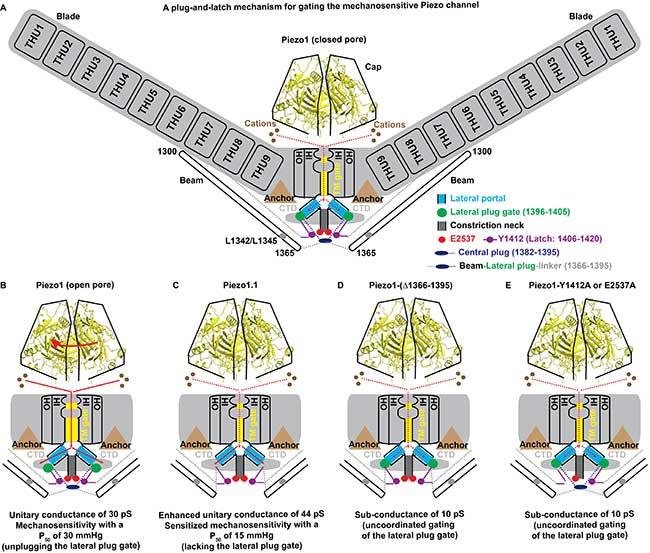 清华大学药学院肖百龙与生命学院李雪明课题组在机械门控Piezo离子通道研究中取得重要进展-第1张图片-C9联盟