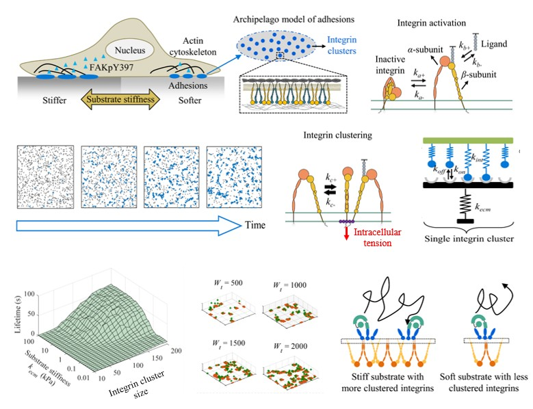 西安交大科研人员生程波、万婉婷等在细胞力学信号转导机制研究方面取得新进展