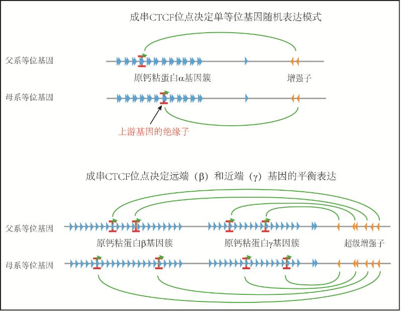 上海交大吴强科研团队在三维基因组折叠机理研究中取得重要进展