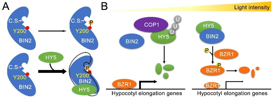 北京大学朱丹萌课题组《自然•通讯》发文:发现光形态建成关键促进因子HY5功能新层面