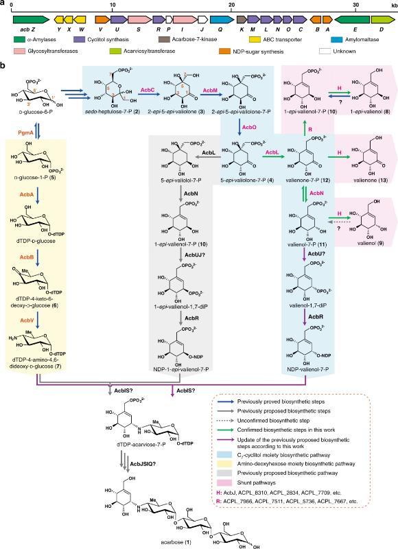 上海交大白林泉科研团队取得抗糖尿病药物阿卡波糖生物合成机理新突破并大幅提升发酵产量
