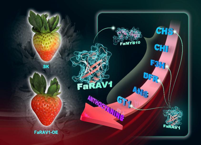 浙江大学果实品质生物学团队研究发现调控草莓果实花青苷合成的新型转录因子FaRVA1