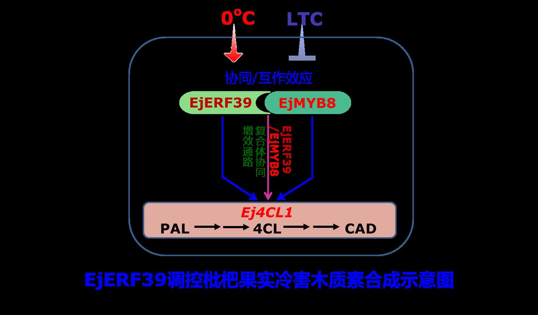 浙江大学果实品质生物学科研团队发现调控枇杷果实冷害木质化的新型转录因子