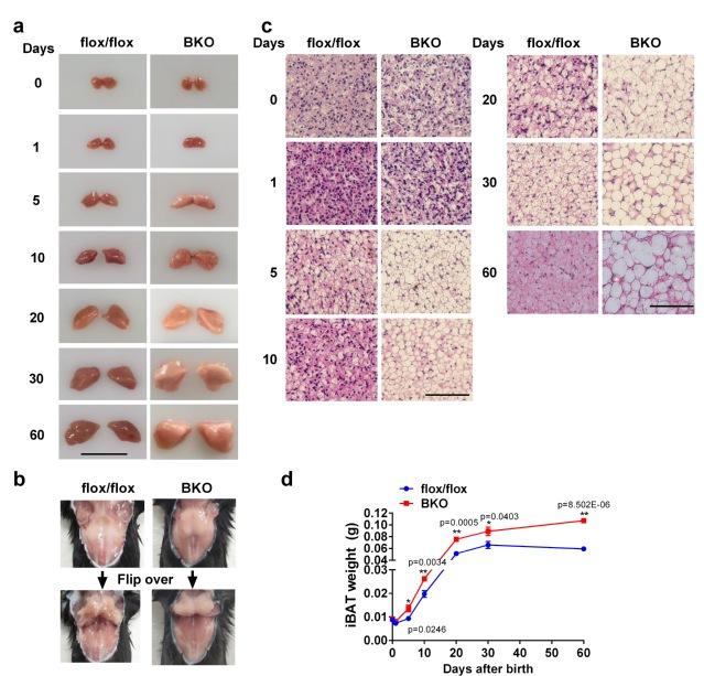 哈工大陈政课题组在棕色脂肪组织出生后发育和能量代谢方面取得重要进展-第1张图片-C9联盟