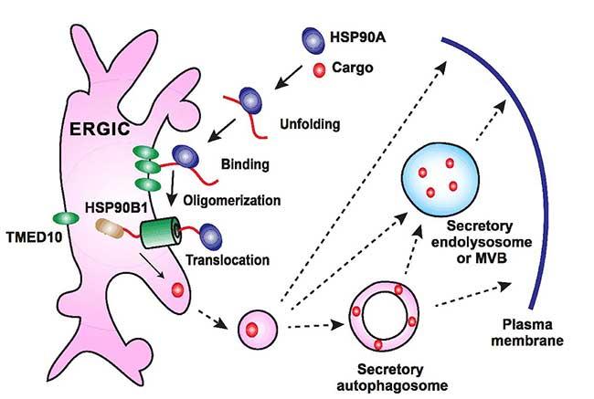清华大学葛亮课题组《细胞》发文报道蛋白非经典分泌过程关键步骤