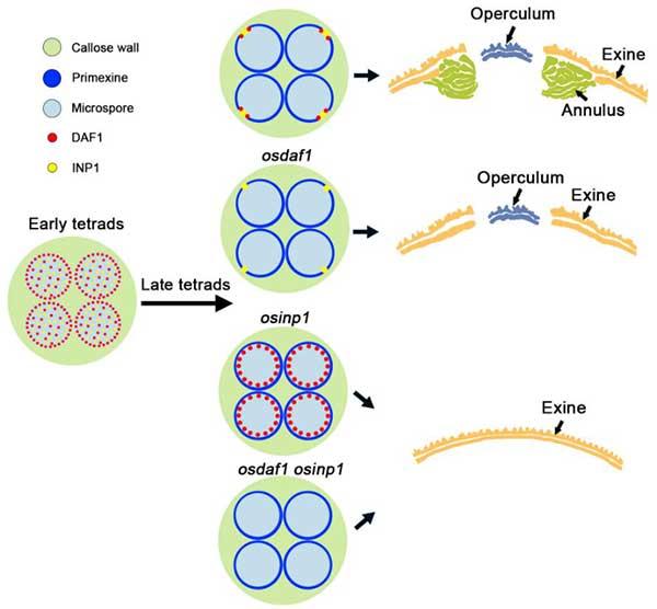 上海交大梁婉琪课题组在水稻花粉发育研究中取得新突破