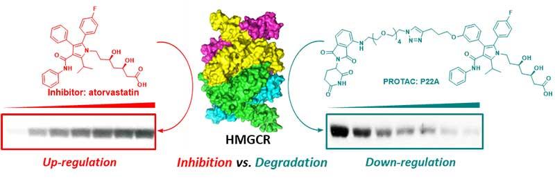 清华大学饶燏课题组合作发文展示靶向3-羟基-3-甲基-戊二酰辅酶A还原酶的降解小分子-第1张图片-C9联盟