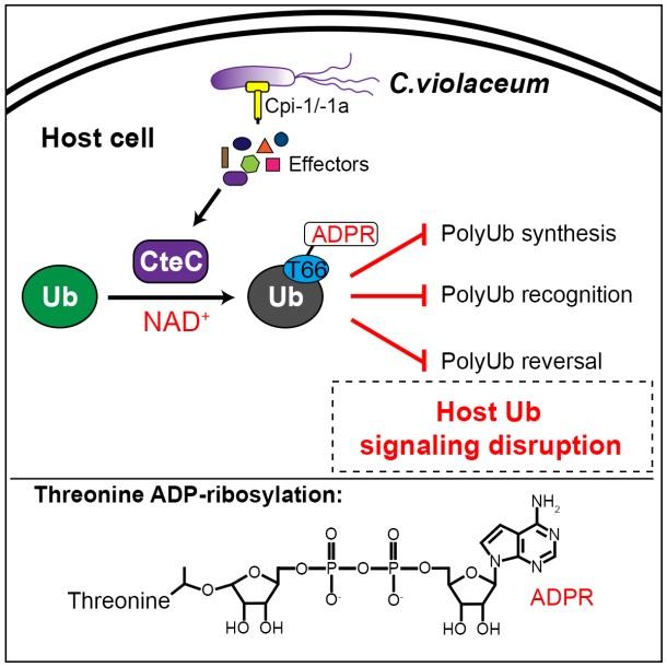 浙江大学周艳课题组发现病原菌对宿主泛素分子进行苏氨酸ADP-核糖基化的新型翻译后修饰-第1张图片-C9联盟