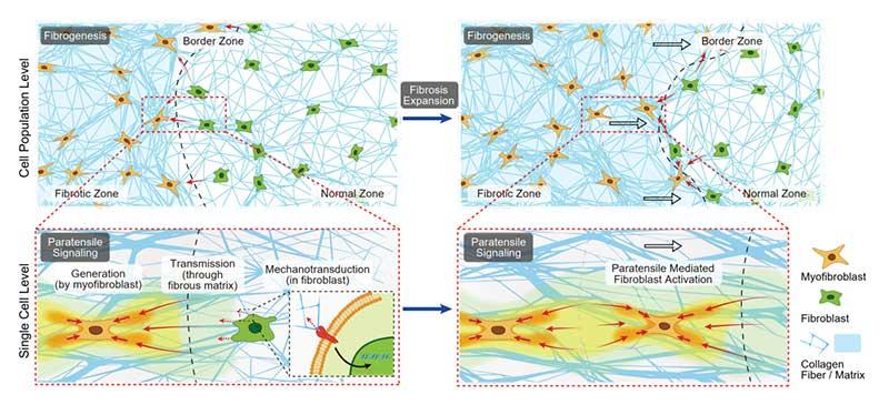 """清华大学杜亚楠教授课题组报道纤维化扩展中""""旁张力信号""""介导的细胞间机械通讯"""