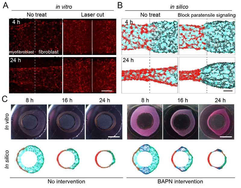 """清华大学杜亚楠教授课题组报道纤维化扩展中""""旁张力信号""""介导的细胞间机械通讯-第2张图片-C9联盟"""