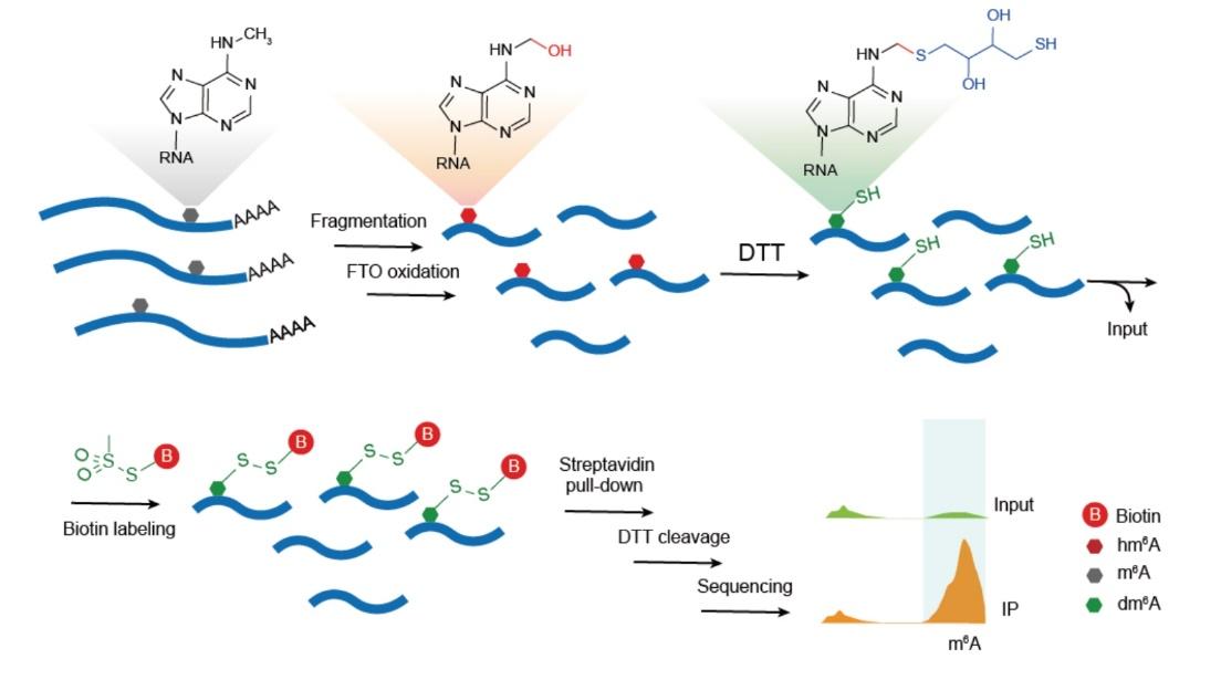 北京大学桂芳课题组开发无需抗体的酶辅助化学标记N6-甲基腺嘌呤(m6A)测序技术