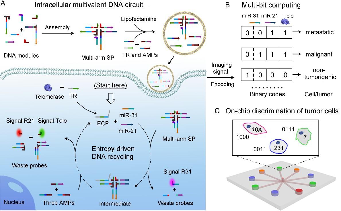 西安交大赵永席团队在肿瘤细胞DNA编程计算分析领域取得重要进展