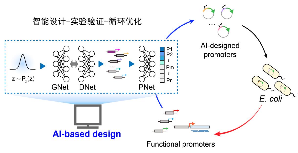 清华大学汪小我团队在生物调控元件智能设计上取得突破性进展